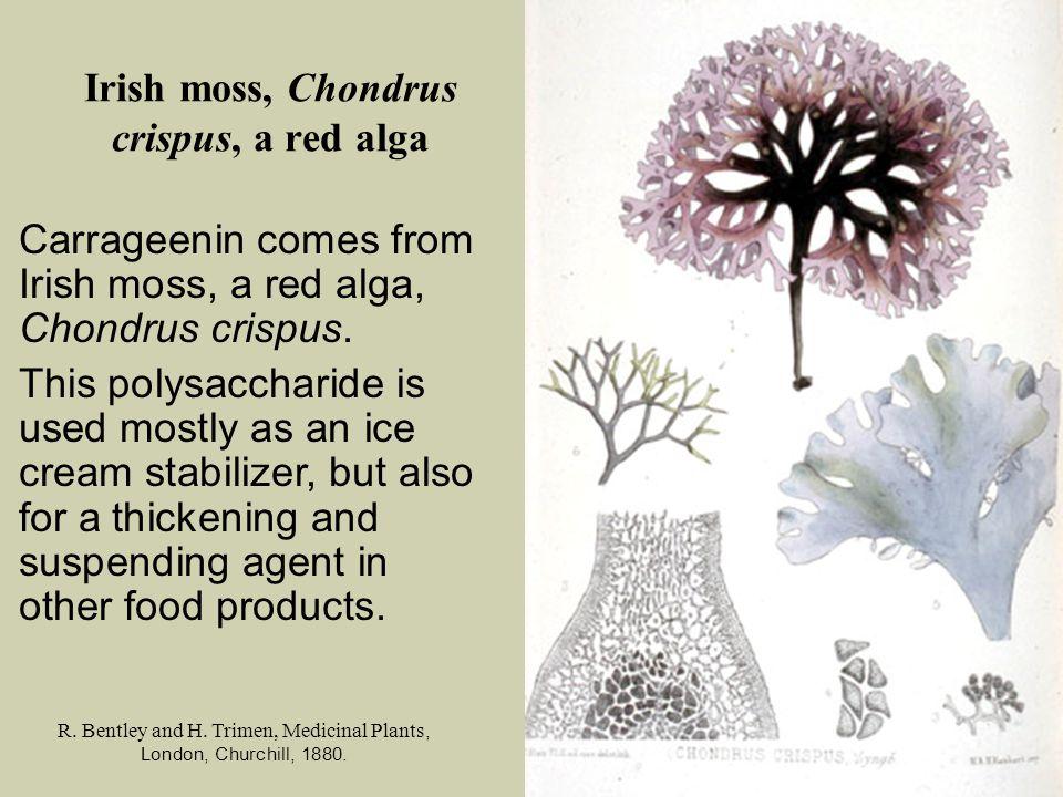 Irish moss, Chondrus crispus, a red alga