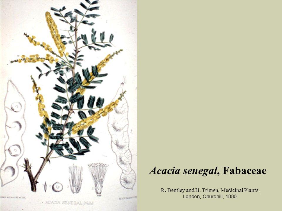 Acacia senegal, Fabaceae