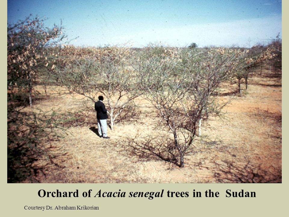 Orchard of Acacia senegal trees in the Sudan