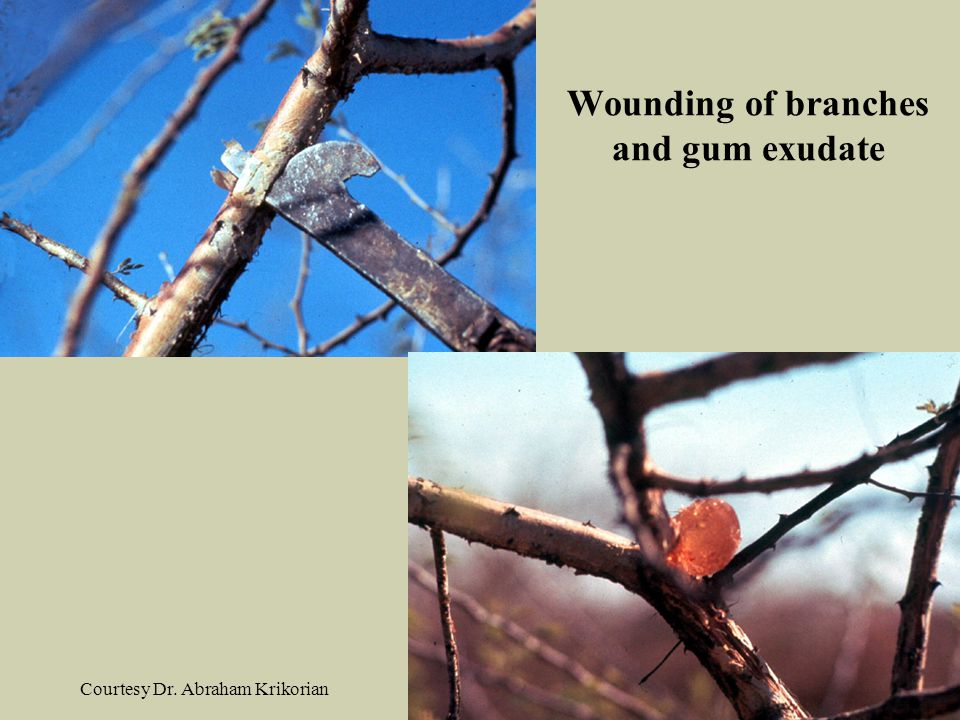 Wounding of branches and gum exudate