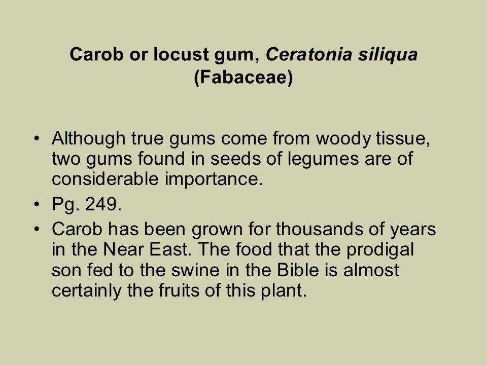 Carob or locust gum, Ceratonia siliqua (Fabaceae)