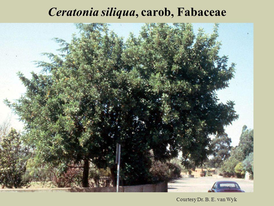 Ceratonia siliqua, carob, Fabaceae
