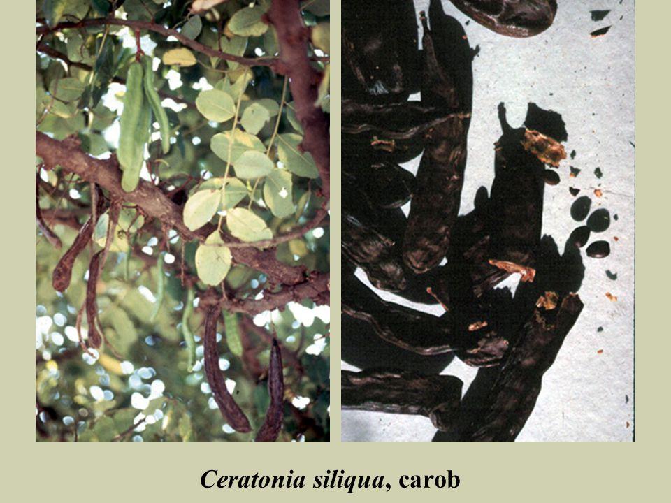Ceratonia siliqua, carob