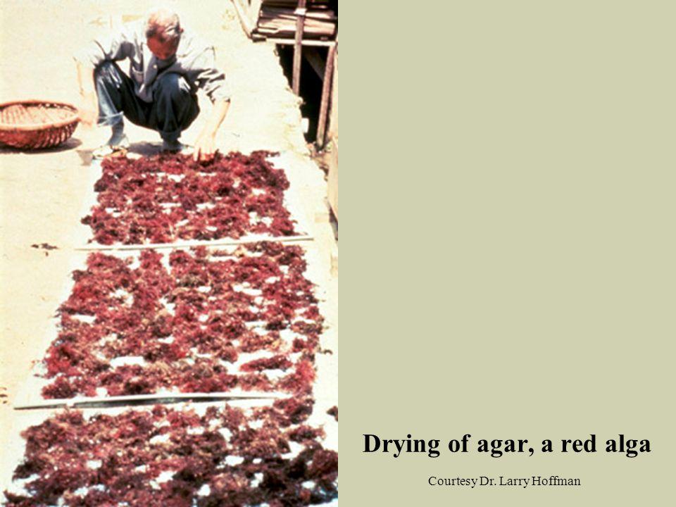 Drying of agar, a red alga