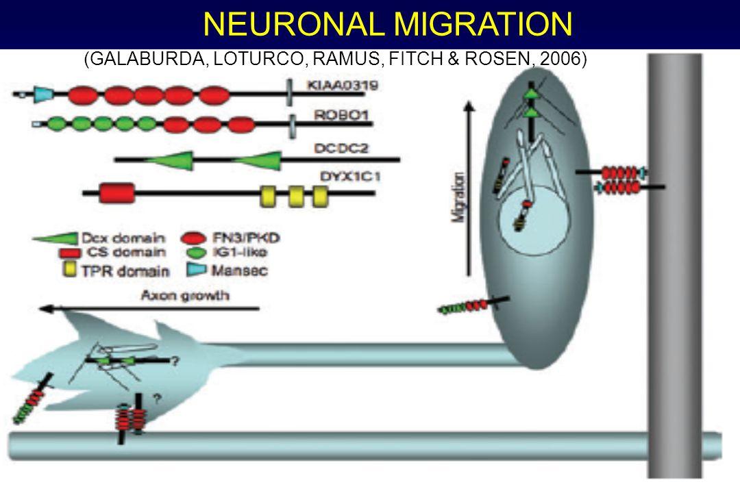 NEURONAL MIGRATION (GALABURDA, LOTURCO, RAMUS, FITCH & ROSEN, 2006)