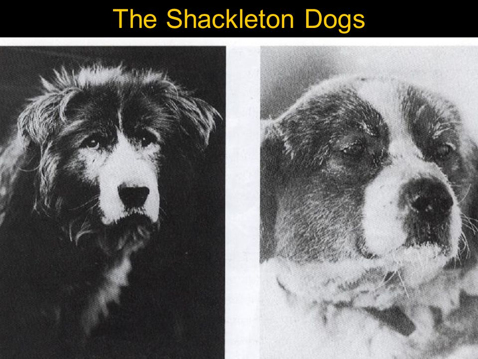 The Shackleton Dogs