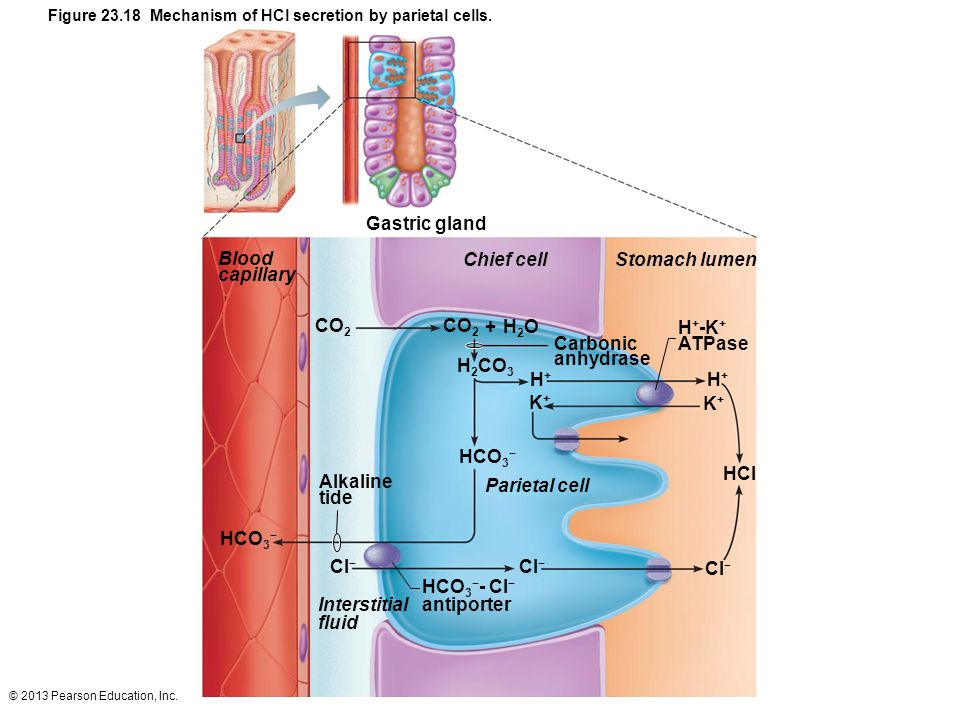 Gastric gland Blood capillary Chief cell Stomach lumen CO2 CO2 + H2O