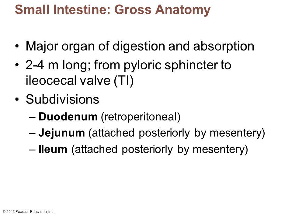 Small Intestine: Gross Anatomy