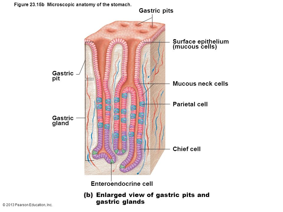 Enlarged view of gastric pits and gastric glands