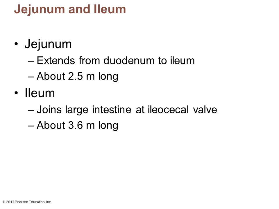 Jejunum and Ileum Jejunum Ileum Extends from duodenum to ileum