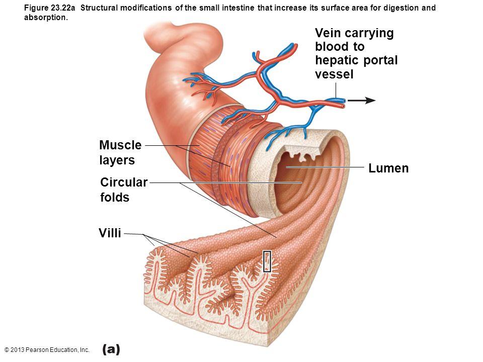 Vein carrying blood to hepatic portal vessel Muscle layers Lumen