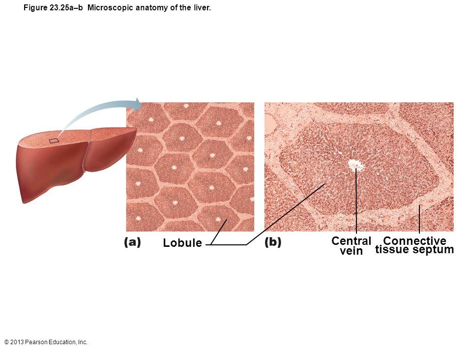 Lobule Central vein Connective tissue septum