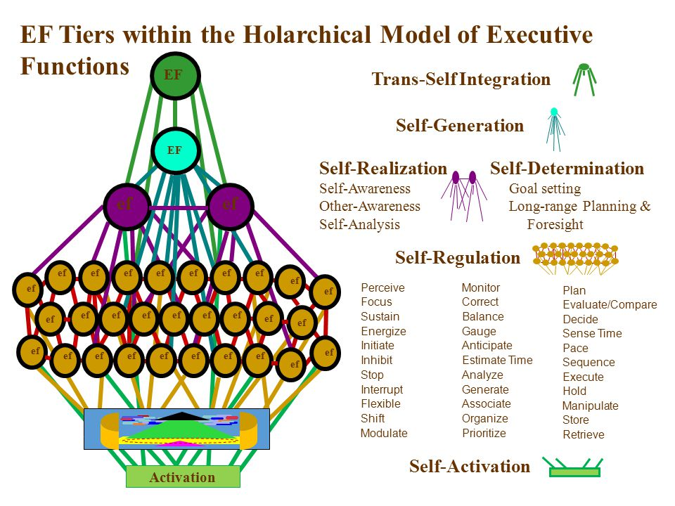 EF Tiers within the Holarchical Model of Executive Functions