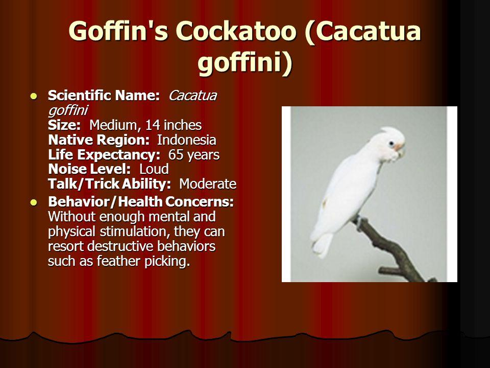 Goffin s Cockatoo (Cacatua goffini)