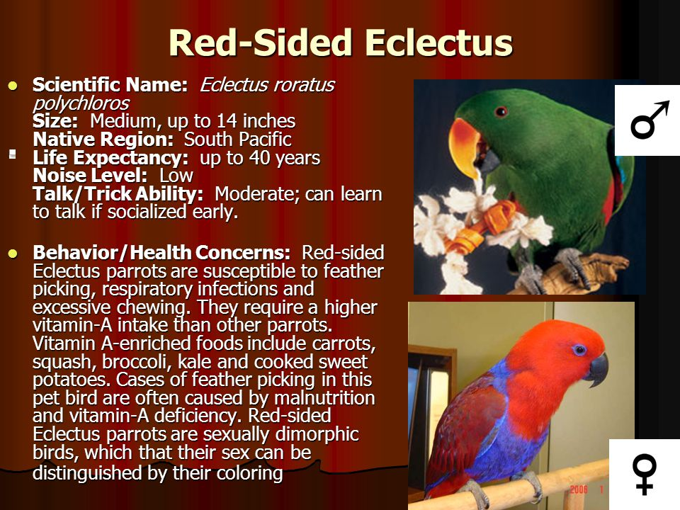 Red-Sided Eclectus