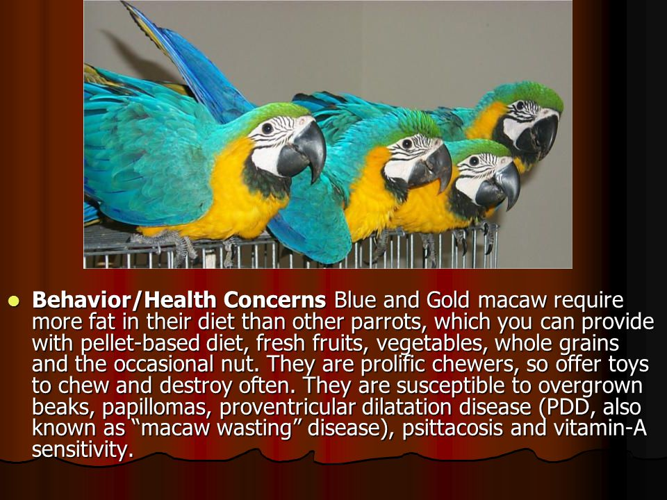 Behavior/Health Concerns Blue and Gold macaw require more fat in their diet than other parrots, which you can provide with pellet-based diet, fresh fruits, vegetables, whole grains and the occasional nut.