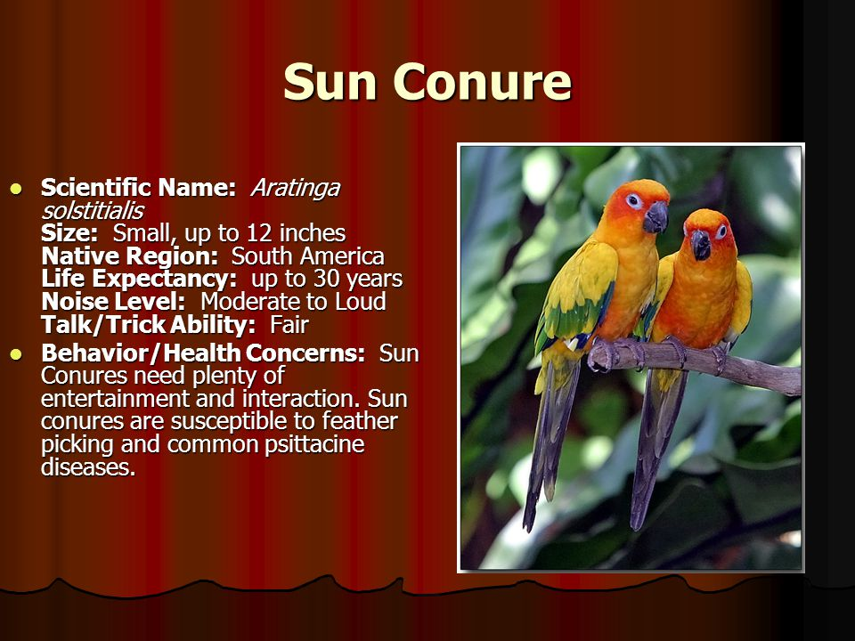 Sun Conure