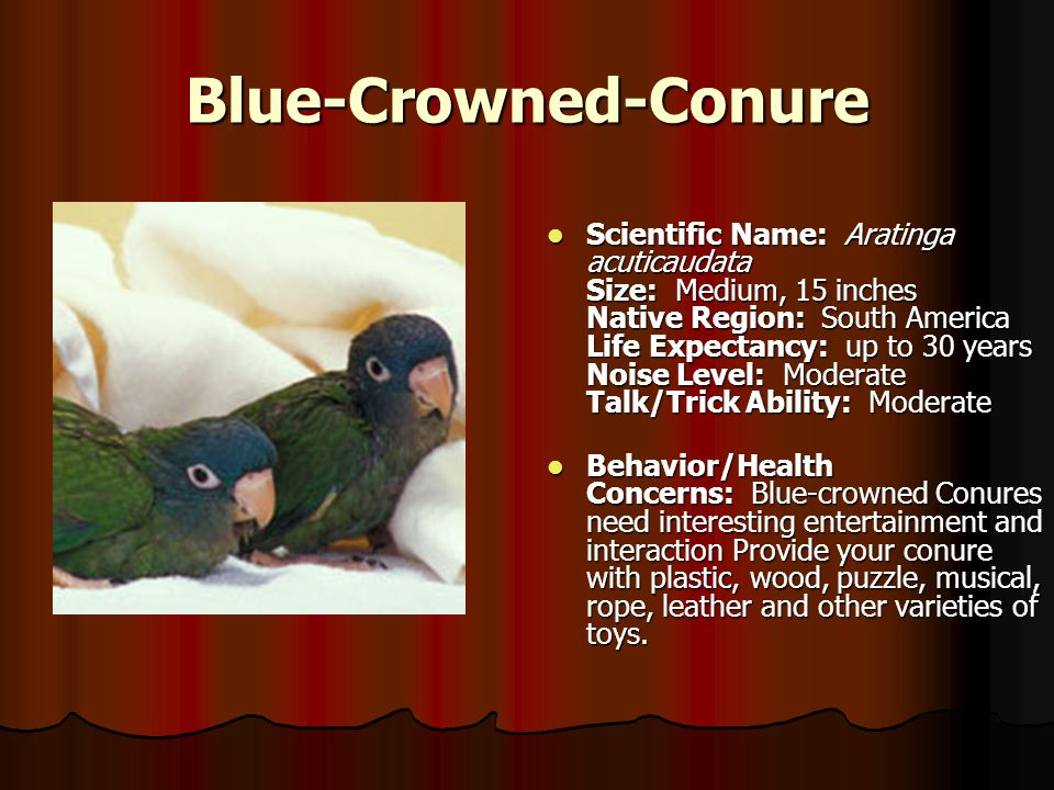 Blue-Crowned-Conure.