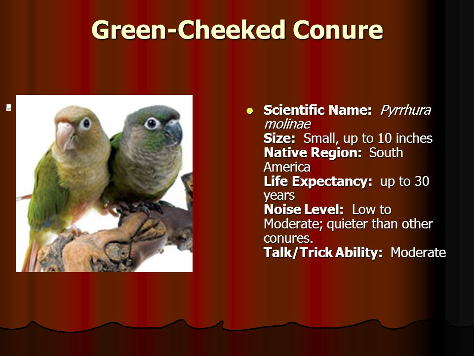Green-Cheeked Conure.
