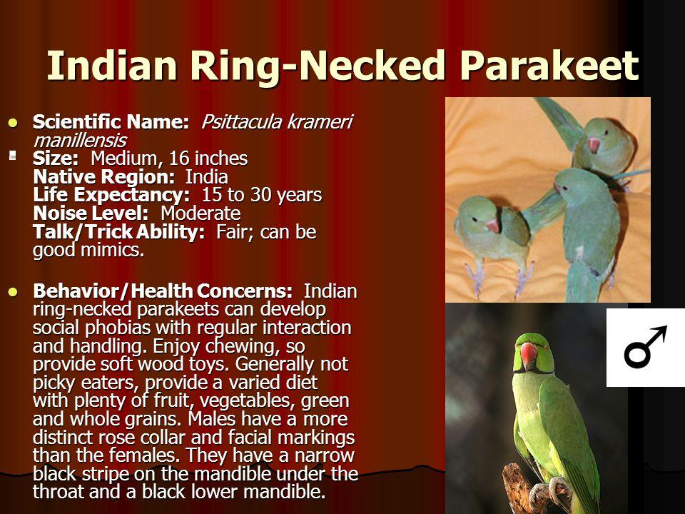 Indian Ring-Necked Parakeet