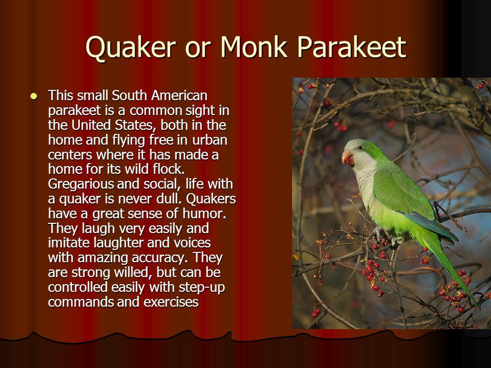 Quaker or Monk Parakeet
