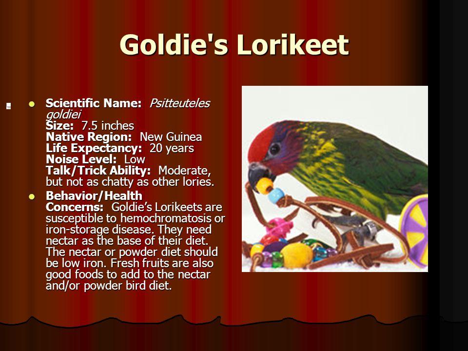Goldie s Lorikeet.