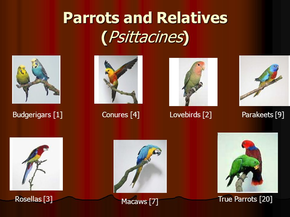 Parrots and Relatives (Psittacines)