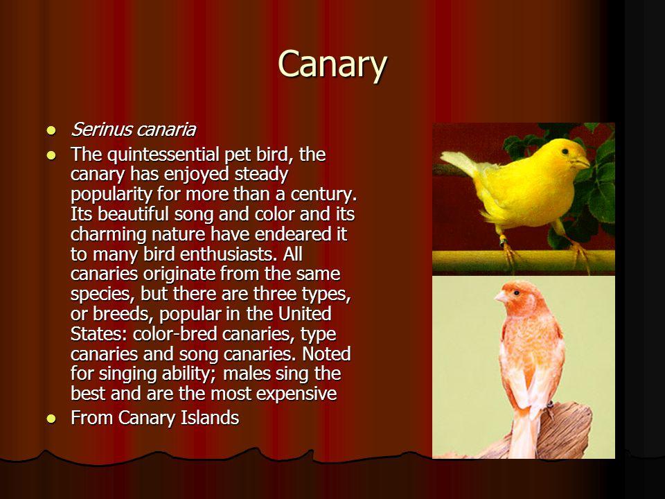 Canary Serinus canaria