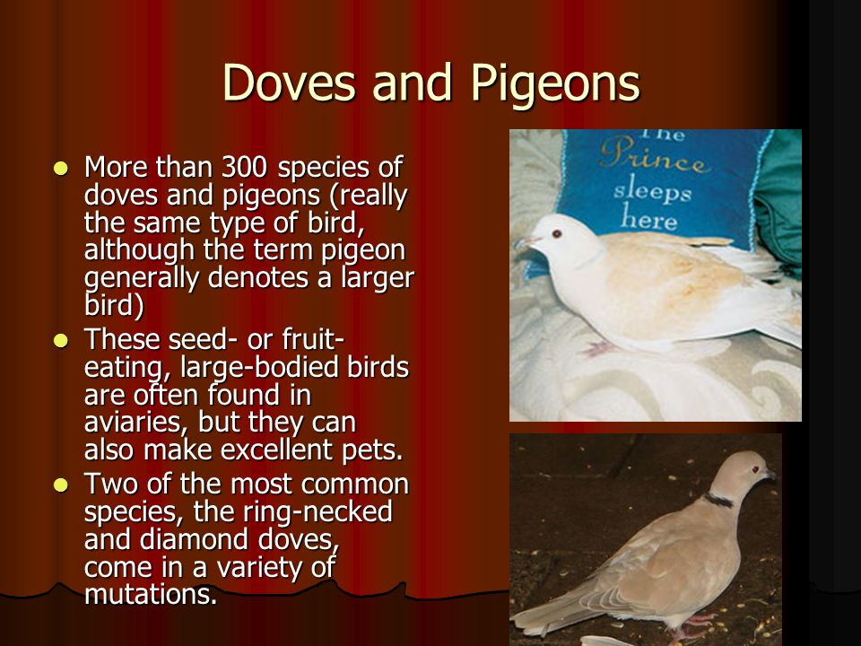 Doves and Pigeons.