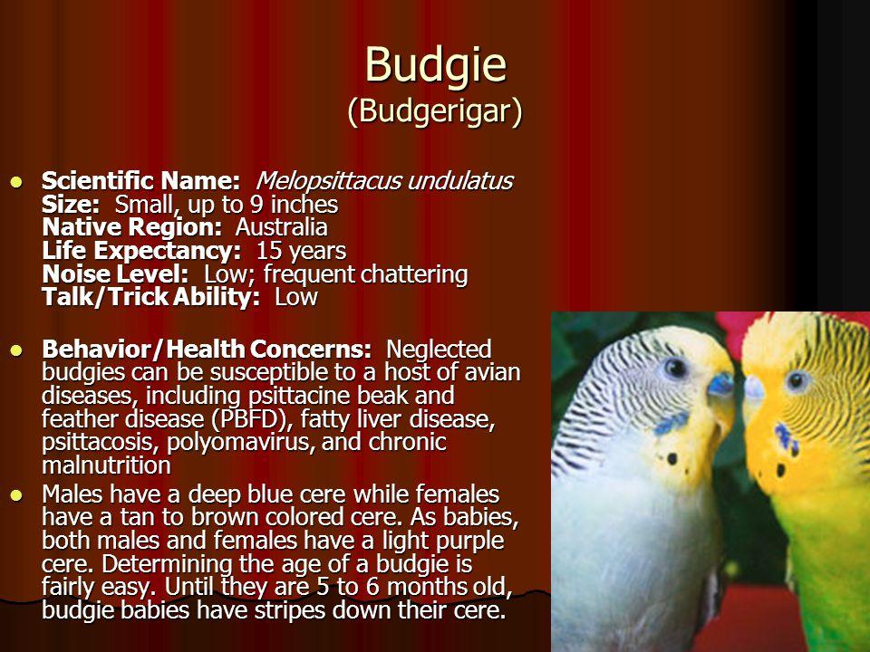 Budgie (Budgerigar)
