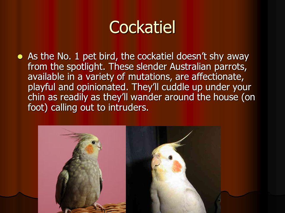 Cockatiel.