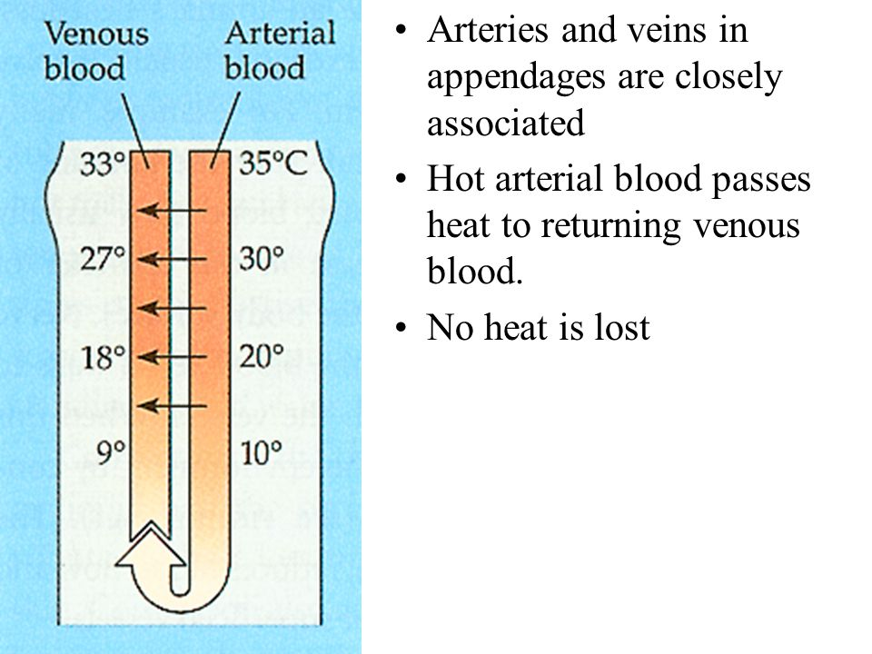 Arteries and veins in appendages are closely associated