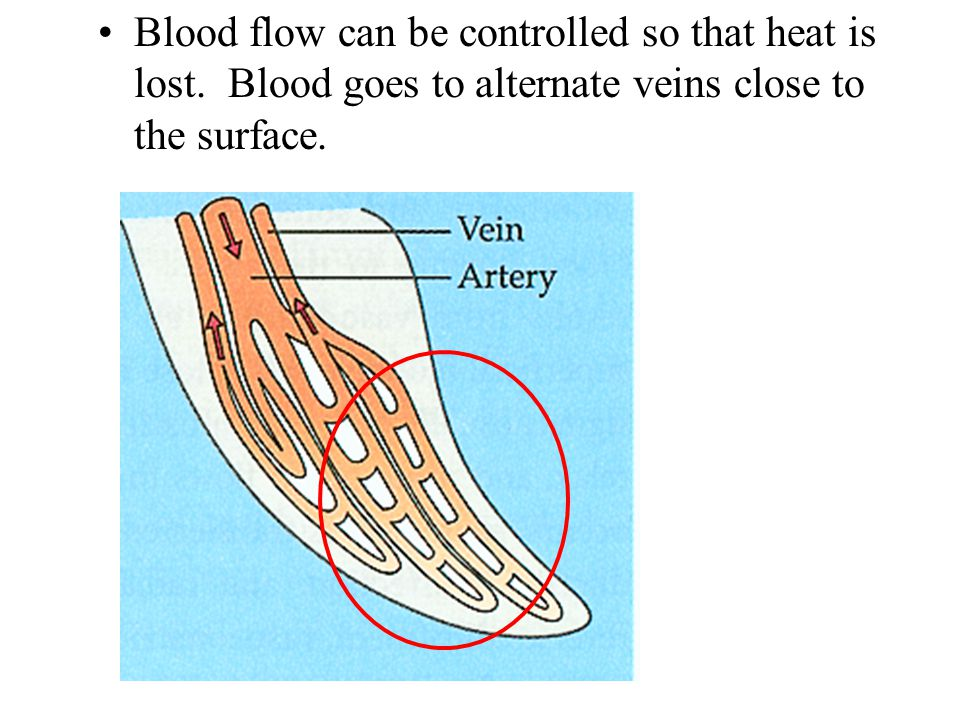 Blood flow can be controlled so that heat is lost