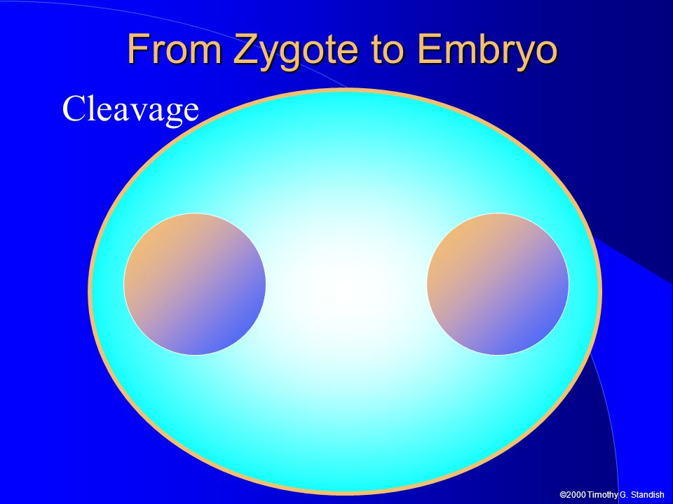 From Zygote to Embryo Cleavage