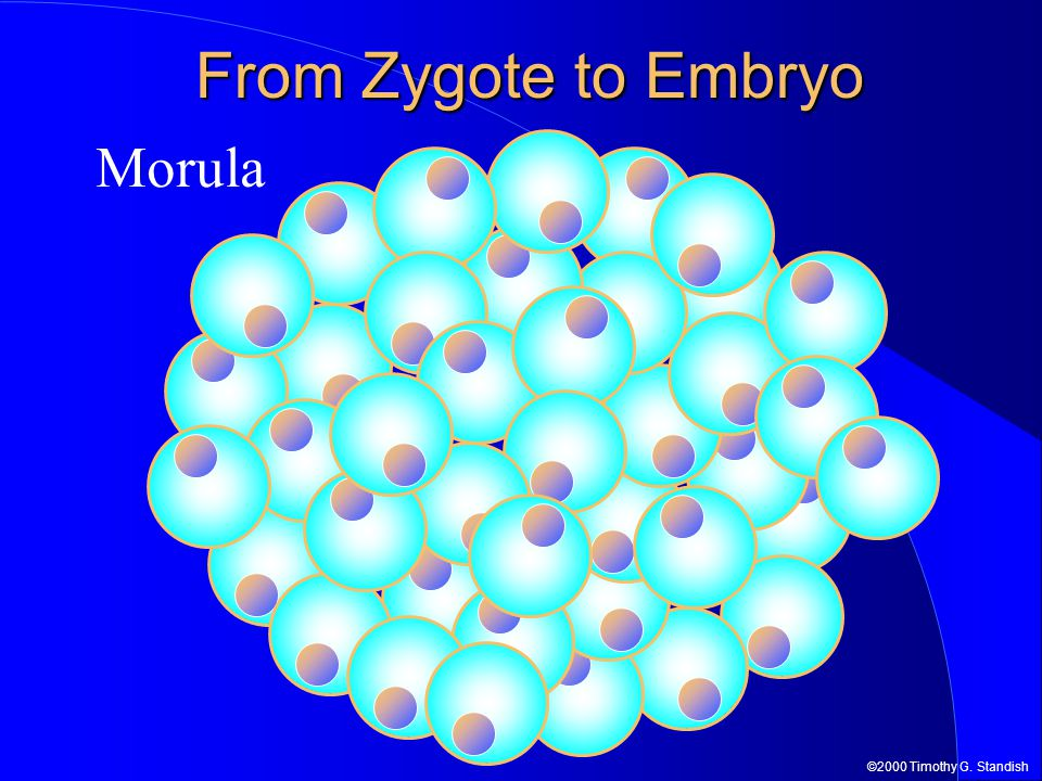 From Zygote to Embryo Morula