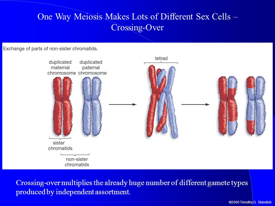 One Way Meiosis Makes Lots of Different Sex Cells – Crossing-Over