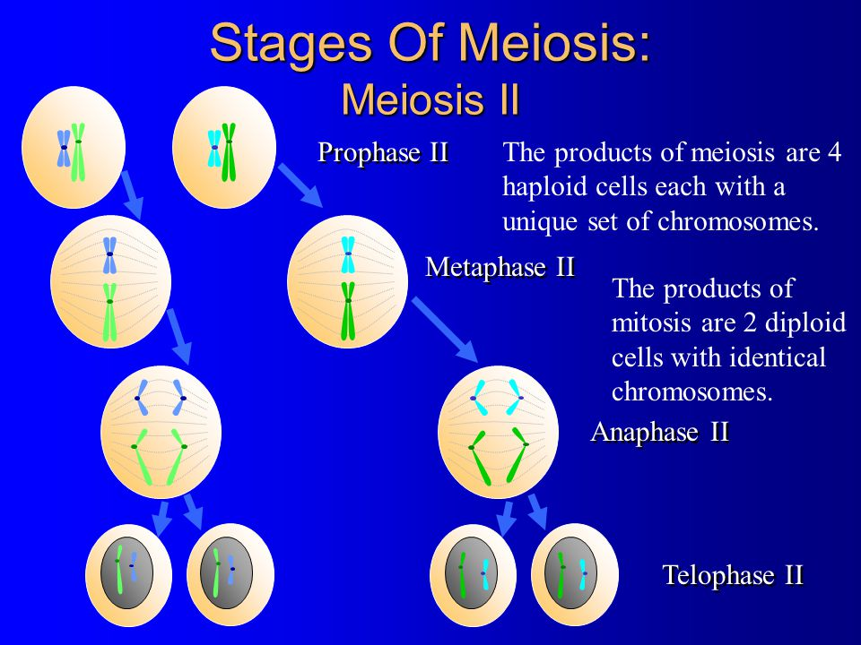 Stages Of Meiosis: Meiosis II