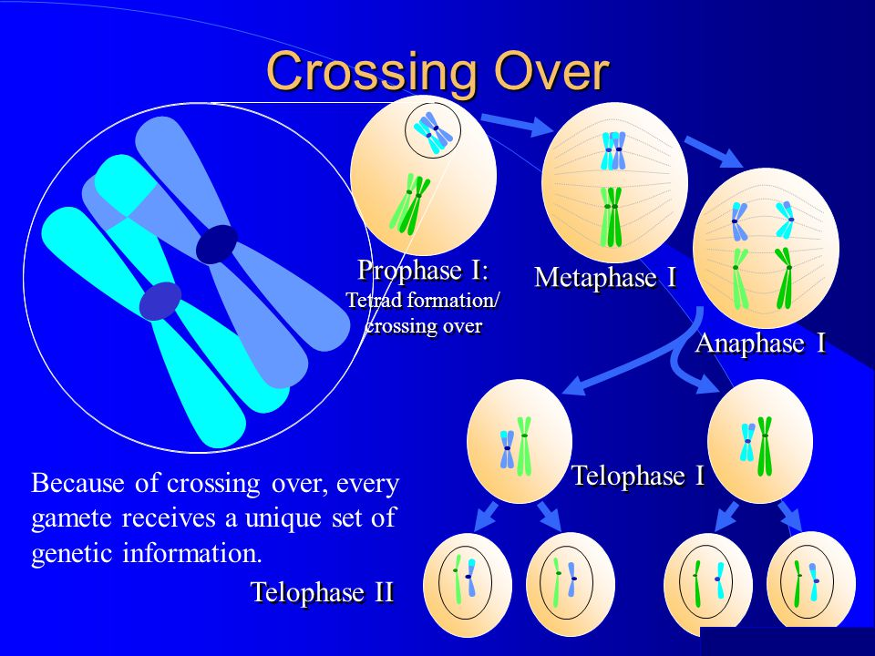 Crossing Over Prophase I: Metaphase I Anaphase I Telophase I