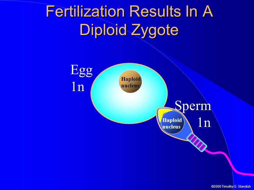 Fertilization Results In A Diploid Zygote