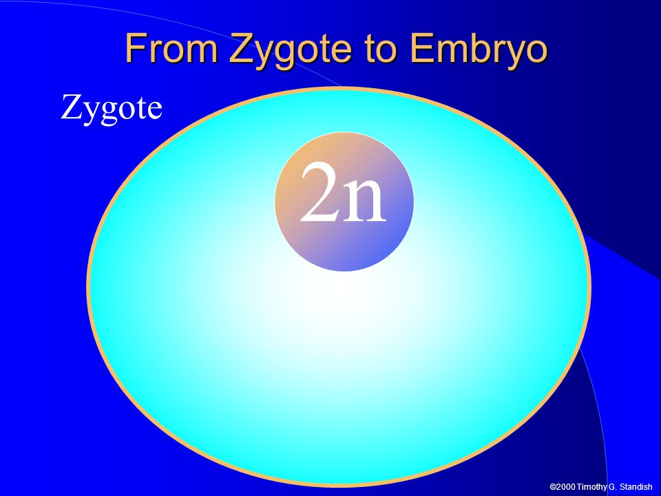 From Zygote to Embryo Zygote 2n Zygote 2n