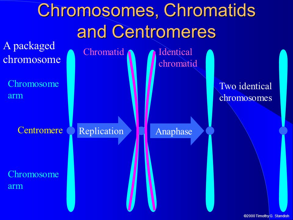 Chromosomes, Chromatids and Centromeres