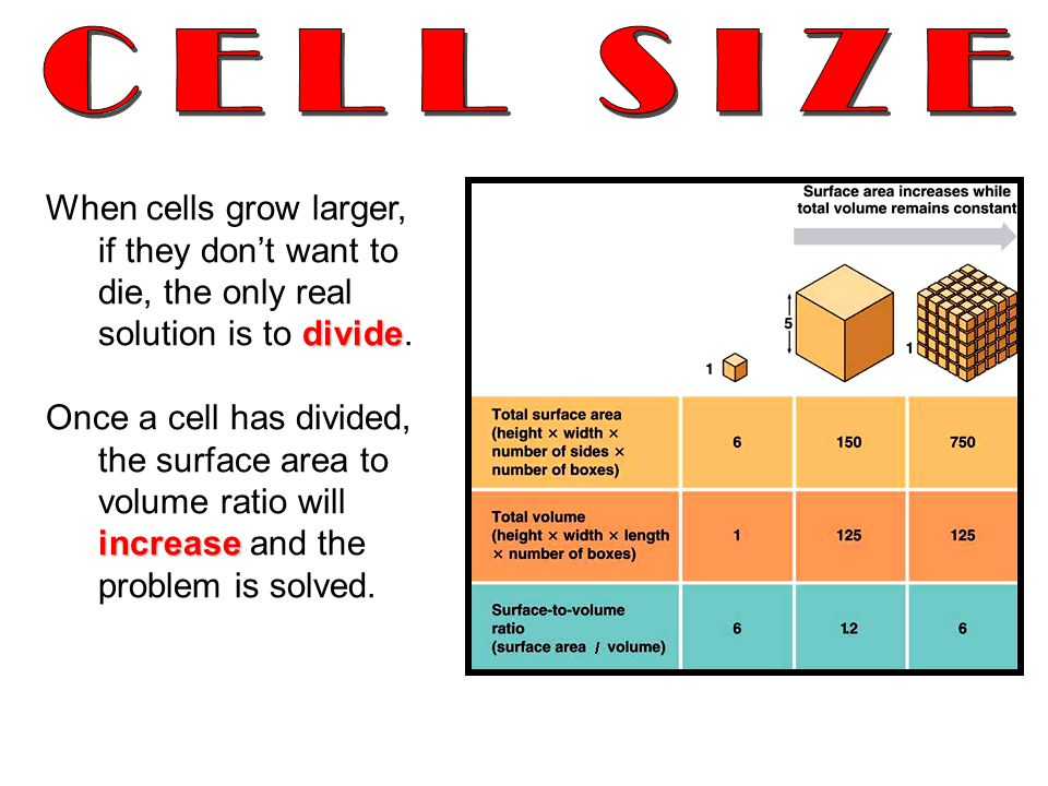 CELL SIZE When cells grow larger, if they don't want to die, the only real solution is to divide.