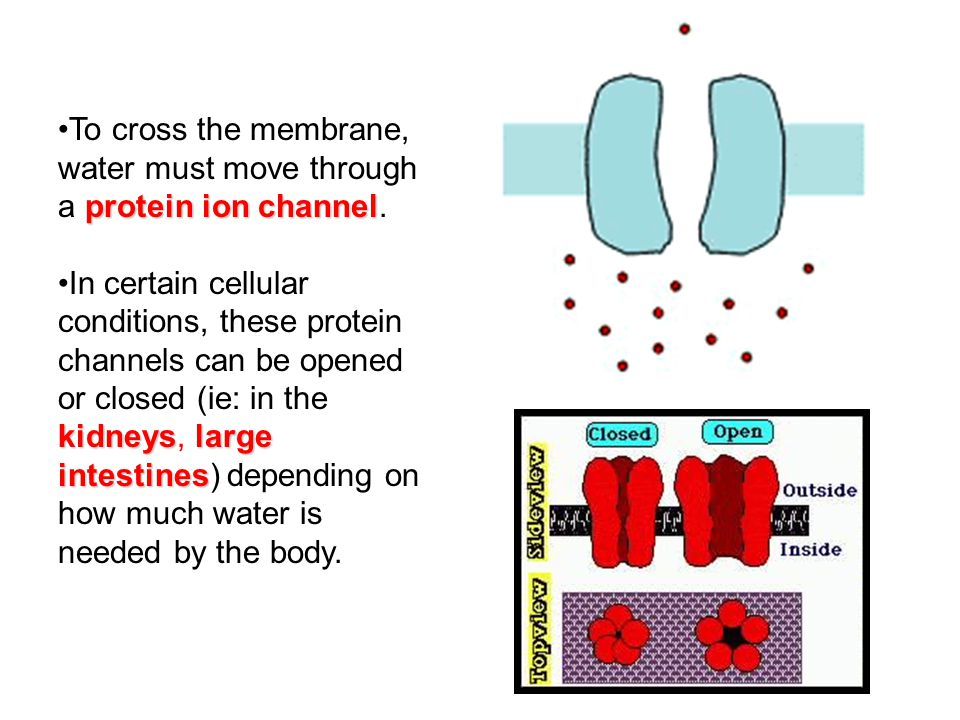 To cross the membrane, water must move through a protein ion channel.