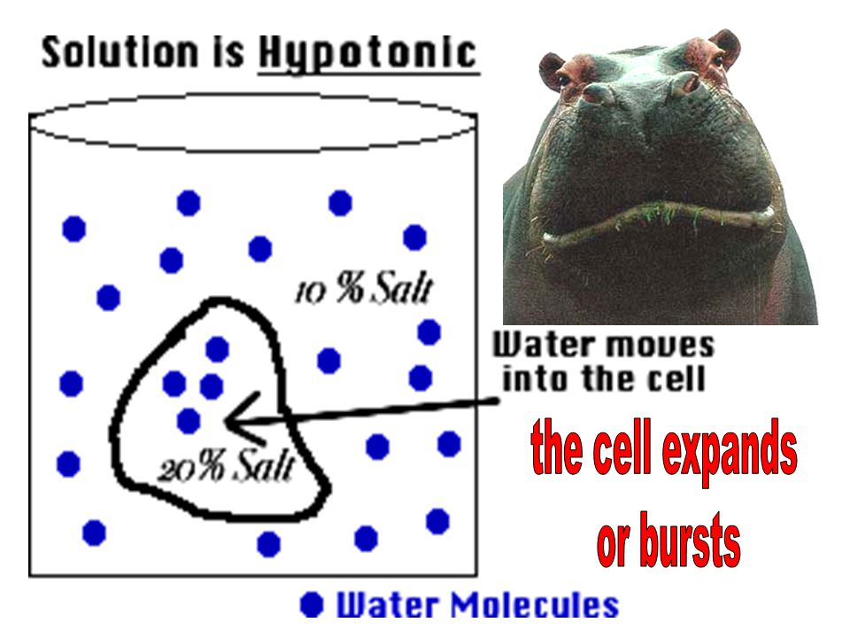 the cell expands or bursts