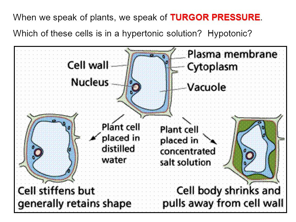 When we speak of plants, we speak of TURGOR PRESSURE.