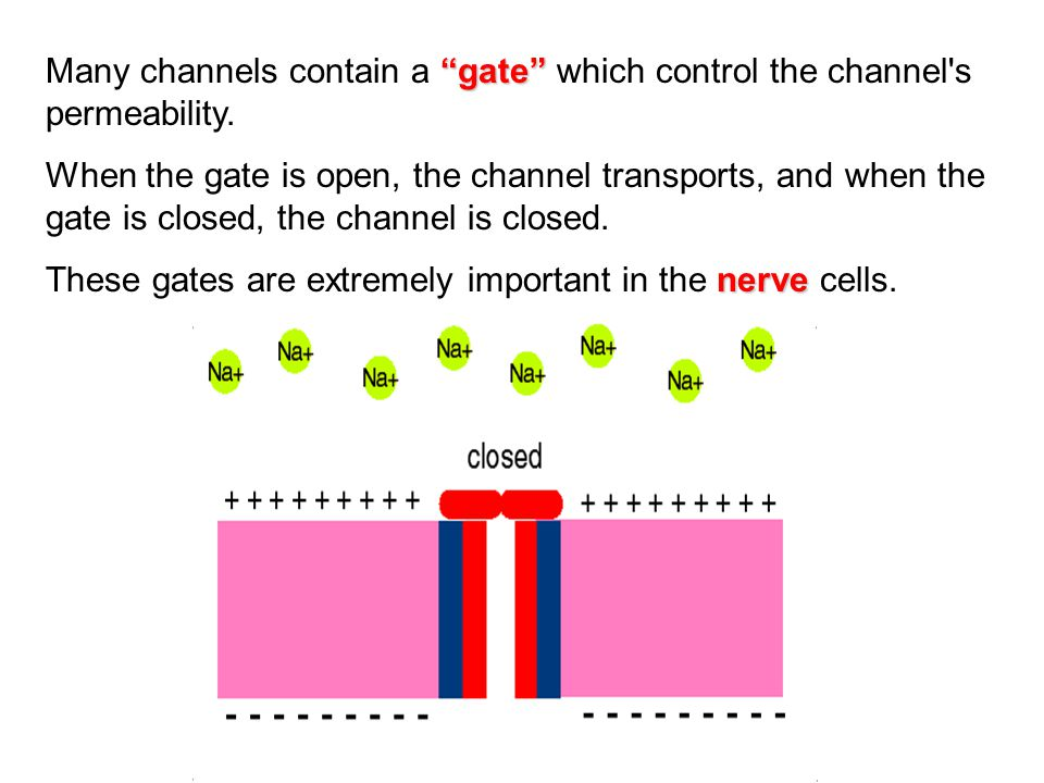 Many channels contain a gate which control the channel s permeability.
