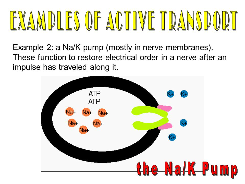 EXAMPLES OF ACTIVE TRANSPORT