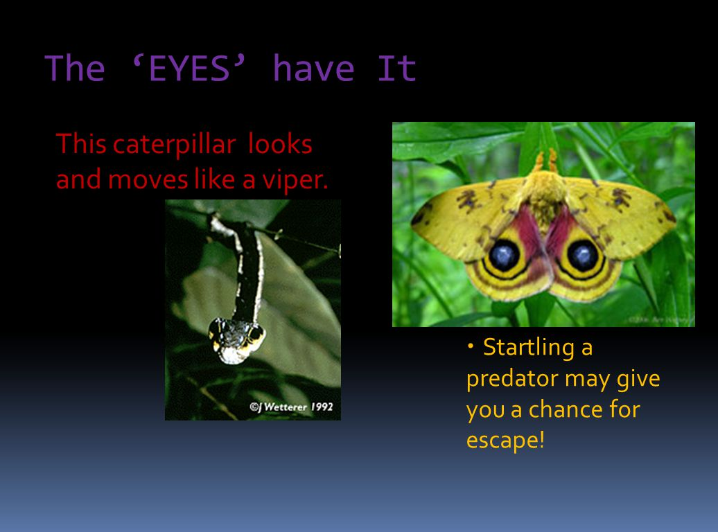 The 'EYES' have It This caterpillar looks and moves like a viper.