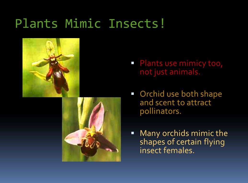 Plants Mimic Insects! Plants use mimicy too, not just animals.