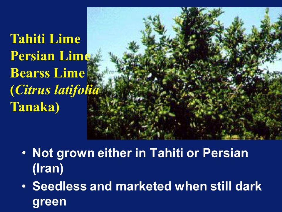 (Citrus latifolia Tanaka)
